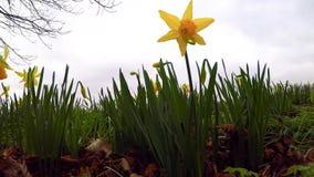 De gele lente bloeit in het park, winderige dag, een symbool van de lente stock video