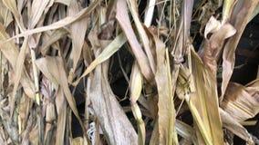 De gele maïskolven zijn gebonden en droog in bundels onder een houten luifel stock videobeelden