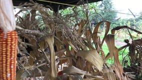 De gele maïskolven zijn gebonden en droog in bundels onder een houten luifel stock video