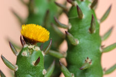 De gele macro van de cactusbloem Stock Fotografie