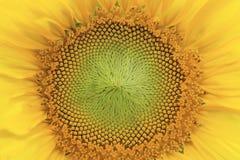 De gele Macro van de Zonnebloem Stock Foto's