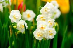 De gele macro van gele narcissenbloemen Stock Afbeeldingen