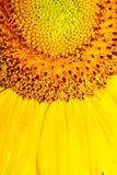 De gele Macro van de Zonnebloemclose-up stock foto's