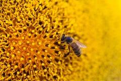 De gele macromening van de zonnebloembij de scène van de zomeraard Ondiepe Diepte van Gebied Royalty-vrije Stock Afbeelding