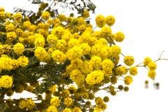 De gele mimosa bloeit dicht Stock Foto's