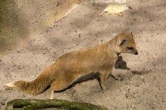 De gele mongoes, Cynictis-penicillata is behendige carnivoren en zoekt nog voedsel stock fotografie
