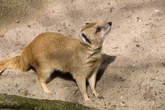 De gele mongoes, Cynictis-penicillata is behendige carnivoren en zoekt nog voedsel royalty-vrije stock foto
