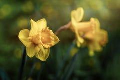 De gele narcis bloeit macro vangt stock foto's