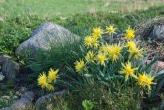 De gele narcis scheurt Van Winkle-narcissenbloemen en Festuca-glauca royalty-vrije stock afbeelding