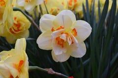 De gele narcis Tahiti met dubbele bloemen Royalty-vrije Stock Afbeeldingen