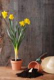 De gele narcis van de lente het tuinieren Stock Afbeelding