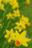 De gele narcis van narcissen Royalty-vrije Stock Afbeelding