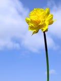 De gele narcisbloem van de lente Stock Fotografie