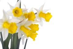 De gele narcisbloemen van de lente die over wit worden geïsoleerd Stock Foto's