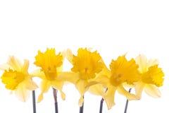De gele narcisbloemen van de lente over wit stock foto