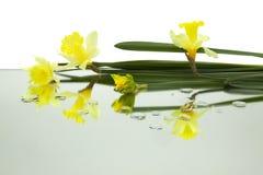 De gele gele narcissen dachten horizontaal in spiegel met dalingen van water op witte achtergrond na royalty-vrije stock fotografie