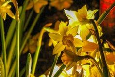 De gele narcissen glanzen Stock Afbeeldingen