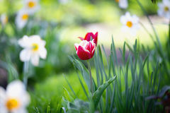 De gele narcissen van bloembedden, tulpen, kleine diepte van gebied Royalty-vrije Stock Afbeeldingen