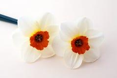 De gele narcissen van de lente Stock Afbeelding