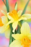 De Gele narcissen van de lente stock fotografie
