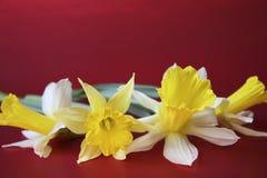 De gele narcissen van de lente Royalty-vrije Stock Afbeelding