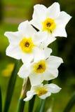 De gele narcissen van de lente Stock Foto