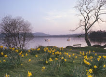 De gele narcissen van Windermere, Cumbria Stock Foto