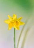 De gele narcissenbloem, sluit omhoog, groen aan gele degradeeachtergrond Ken als gele narcis, daffadowndilly, narcissen, en jonqu Stock Afbeelding