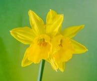 De gele narcissenbloem, sluit omhoog, groen aan gele degradeeachtergrond Ken als gele narcis, daffadowndilly, narcissen, en jonqu Stock Foto