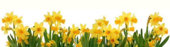 De gele narcissengrens van de lente Royalty-vrije Stock Foto