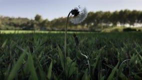 De gele narcisslingeringen in het midden van groen gras doorbladert op winderige dag stock footage