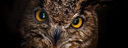 De gele ogen van gehoornde uil sluiten omhoog op een donkere achtergrond stock afbeeldingen