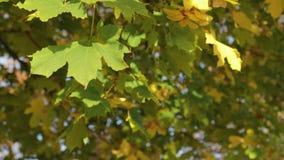 De gele, oranje en groene esdoorn verlaat het hangen op de boom en het slingeren in de wind stock video