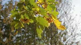 De gele, oranje en groene esdoorn verlaat het hangen op de boom en het slingeren in de wind stock videobeelden