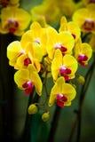 De gele orchidee Royalty-vrije Stock Afbeeldingen