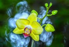 De gele orchideebloemen stralen kleur uit Royalty-vrije Stock Afbeeldingen