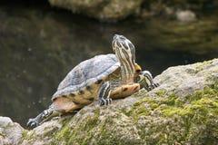 De gele oren van de schildpad Royalty-vrije Stock Fotografie