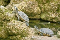 De gele oren van schildpadden Stock Foto's