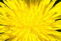 De gele paardebloem in de zomer, sluit omhoog beeld stock fotografie