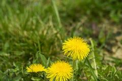 De gele paardebloemen van Nice Stock Foto's