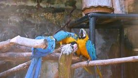 De gele papegaai, de blauwe vleugel, is op drie takken stock footage
