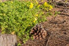 De gele pes-caprae geit-voet van bloemenoxalis en één bruine buil en één grijze stomp op de bruine achtergrond van pijnboomnaalde stock fotografie