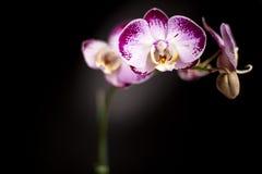 De gele Purpere en Witte Zwarte Achtergrond van de Orchidee stock foto