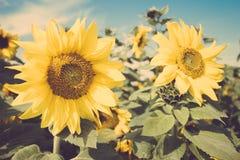 De gele retro wijnoogst van het de weidegebied van de bloemzonnebloem Stock Afbeeldingen