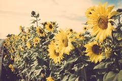 De gele retro wijnoogst van het de weidegebied van de bloemzonnebloem Stock Fotografie