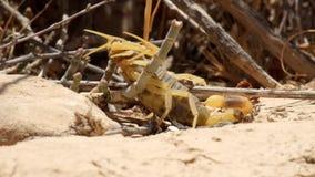 De gele schorpioen sterft na de beet van een andere schorpioen van dezelfde species stock video