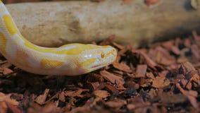 De gele slang toont tong stock footage