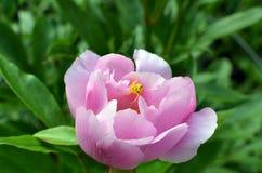 De gele spin van de krabbloem op roze pioenbloemblaadje Royalty-vrije Stock Fotografie