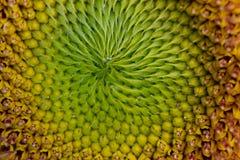 De gele Spiraal van het Zonnebloemzaad Stock Fotografie
