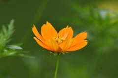 De gele straalbloem, ook genoemd bloemkosmos, behoort tot de zonnebloemfamilie royalty-vrije stock foto's